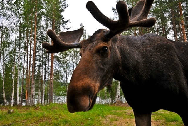 In Pictures: Hanging With Moose