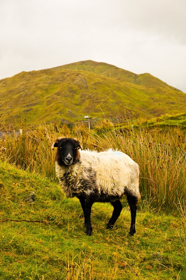 Postcard: Wooly Neighbors In Connemara